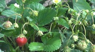 Stock Video Footage of Fresh Strawberries