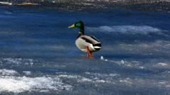 Mandarin duck Mallard walking on melting ice Stock Footage