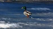 Mandarin duck Mallard walking on melting ice Stock Footage