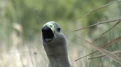 Grey duck like bird quacking Stock Footage