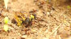 Ants carry a big wasp to their lair Stock Footage
