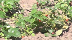 Fresh Strawberries Stock Footage
