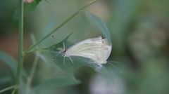 Stock Video Footage of Two cabbage white butterfly copulate on the leaf