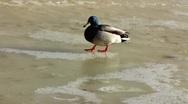 Scandinavia Mallard Drake Duck bird sliding slipping on frozen ice Stock Footage