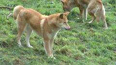 Dingo looking around wanders off Stock Footage
