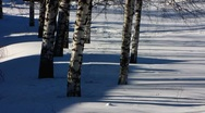 Stock Video Footage of Scandinavia Finland Rauma birch tree in winter snow