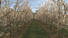 Zoom down rows of plum blossom Stock Footage