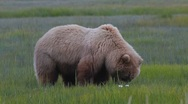Stock Video Footage of Grizzly Bear Meadow
