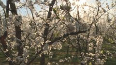Moving camera view of plum tree blossom Stock Footage