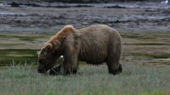 Big Brown Bear Feeds On Grass Stock Footage