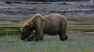 Stock Video Footage of Big Brown Bear Feeds On Grass