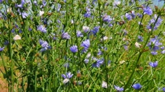 Chicory flowers Stock Footage