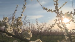 Moving blossom shot of plum tree small branch Stock Footage