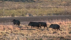 Pack of boars run across road Stock Footage