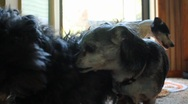 Stock Video Footage of Two dogs wrestling
