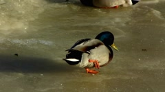 Slow Motion Scandinavia Finland Drake Mallards ducks shitting on ice Stock Footage