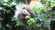 Two-Toed Sloth Costa Rica Stock Footage