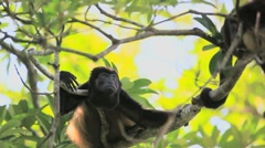 Howler Monkey Costa Rica Stock Footage