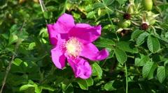 Dog-rose, close-up Stock Footage