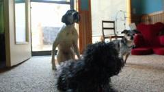 Three dogs Stock Footage