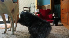 Three dogs sit with scratching poodle in center Stock Footage