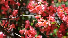 Red flowers on bush swayed by the wind Stock Footage