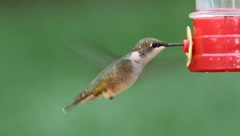 Juvenile Ruby-throated Hummingbird (archilochus colubris) Stock Footage