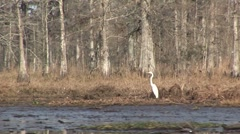 Heron in bayou in Louisiana Stock Footage