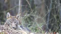 Coyote Hunting Stock Footage