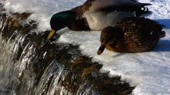 Scandinavia Mallard Drake Duck bird swimming in ice Stock Footage