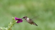 Stock Video Footage of Juvenile Ruby-throated Hummingbird (archilochus colubris)