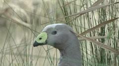 Grey duck like bird peering through the grass Stock Footage