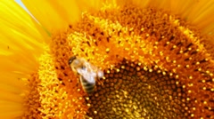 Stock Video Footage of bee pollination on sunflower macro