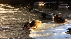 Scandinavia Finland people feeding Mallards ducks in winter snow Stock Footage