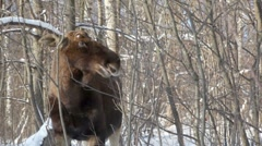 Elk stand and eat buds from shrubs at woods in winter Stock Footage