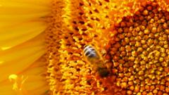 bee pollination on sunflower macro - stock footage