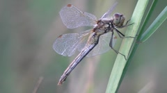 Big Dragonfly On A Blade Of Grass Macro 1 Stock Footage