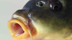 Head carp closeup, macro Stock Footage