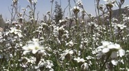 Stock Video Footage of white flower