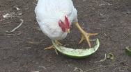 Stock Video Footage of Chickens eating and resting