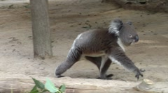 Koala wandering around his enclosure Stock Footage