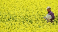 Stock Video Footage of Farmer walking through a rape field holding a laptop