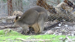 Kangaroo hopping across enclosure, joey in pouch Stock Footage