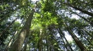 Rotating pan of a forest canopy Stock Footage