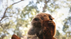 Koala bear Stock Footage