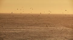 Pelicans flying diving Stock Footage