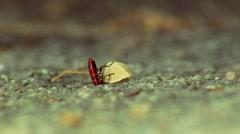 Firebugs larva Stock Footage