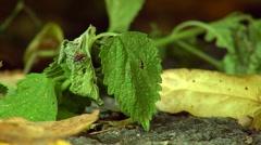Firebugs larvas Stock Footage