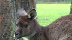 Wallabie looks around enclosure Stock Footage