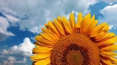 Flowering sunflower on a background cloudy sky Stock Footage